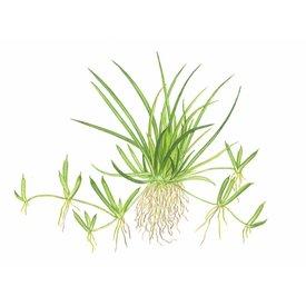 Tropica Littorella uniflora