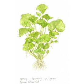 Tropica Nymphoides hydrophylla 'Taiwan'