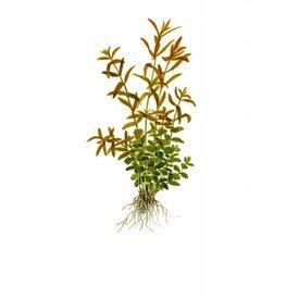 Tropica Rotala rotundifolia