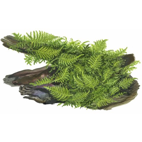 Vesicularia montagnei 'Christmas'