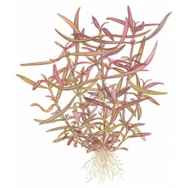Tropica Hygrophila 'Araguaia'
