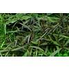 Hygrophila 'Araguaia'