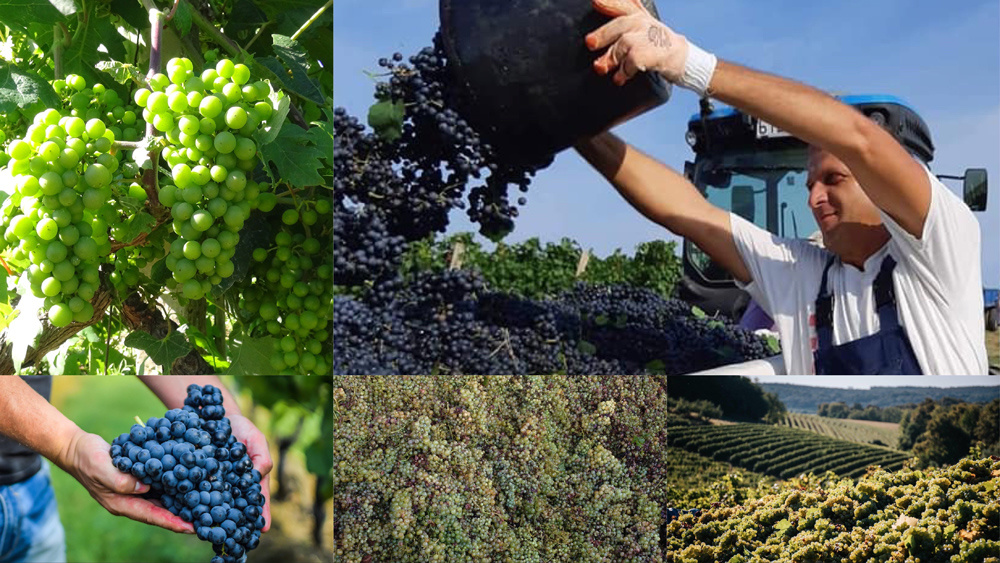 Wanneer kun je druiven oogsten?