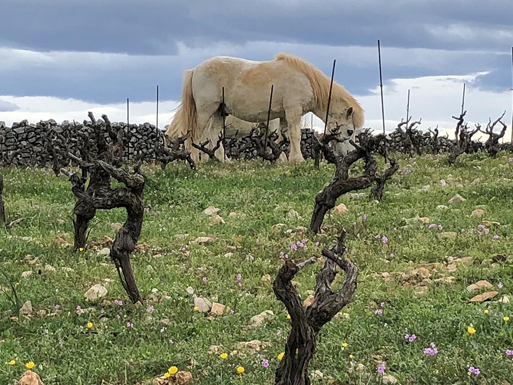 Paard in wijngaard