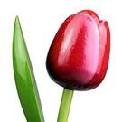 Tulpen aus Holz, Red-weiß