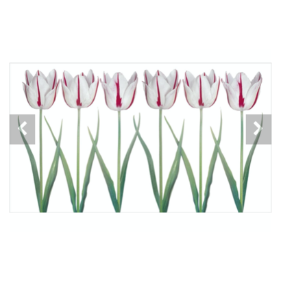 Tulips Peter Arnold
