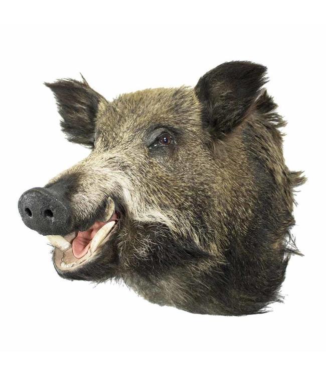 Wildschwein Trophäe