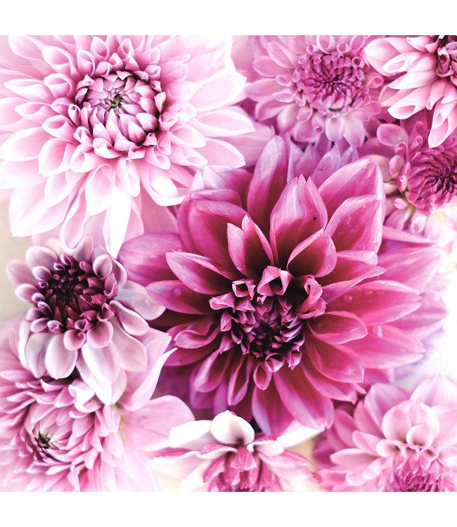 JORA DAHL Dahlienkollektion Purple Blossoms