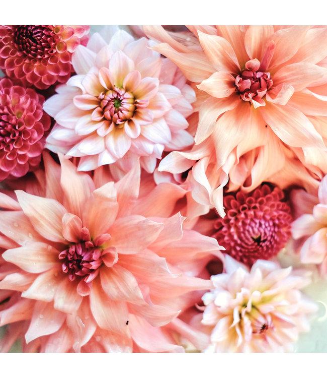 Jora Dahl Dahlienkollektion Peachy & Rose