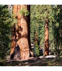 """Sequoiadendron giganteum """"Majestätischer Riese"""" Fotoband - Limitierte Edition"""