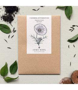 """Jora Dahl Cosmos bipinnatus """"Cupcake Blush"""" (Kosmee)"""