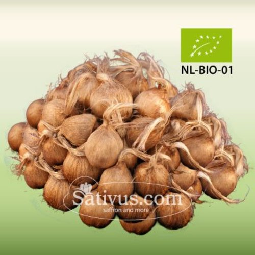 Crocus Sativus -BIO- calibro 8/9, ordini superiori ai 1000 bulbi