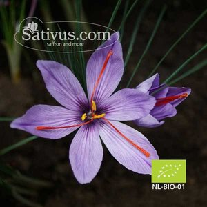 Crocus sativus 1000 bulbi calibro 10/11 - BIO