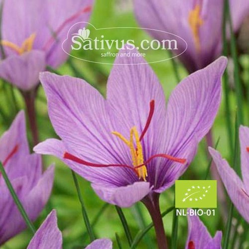 Crocus sativus 100 bulbes calibre 10/11 - BIO