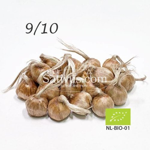 100 Bulbi di crocus Sativus calibro 9/10 - BIO