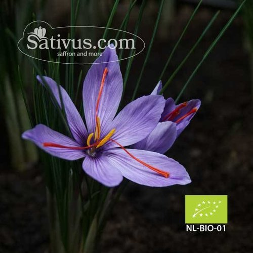 Crocus Sativus 100 corms size 8/9 - BIO