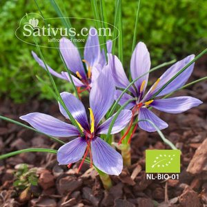 Crocus Sativus 50 corms size 8/9 - BIO