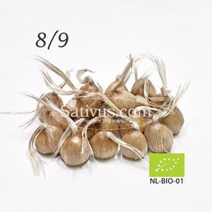 Crocus Sativus 25 corms size 8/9 - BIO
