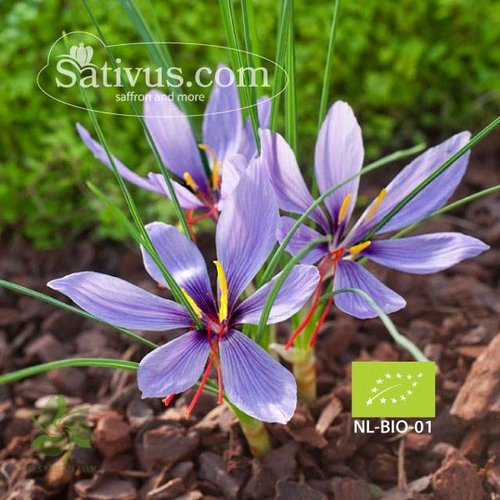 Crocus sativus 1000 bulbes calibre 7/8 - BIO