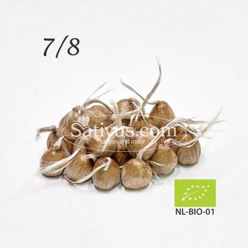10 Bulbi di crocus Sativus calibro 7/8 - BIO