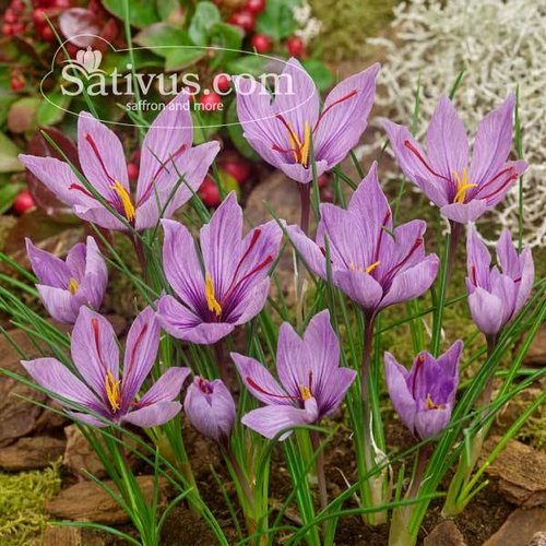 250 Bulbi di crocus Sativus calibro 10/11