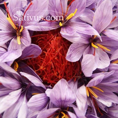 50 Bulbes de Crocus sativus calibre 10/11