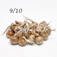 Crocus sativus 100 bulbs size 9/10