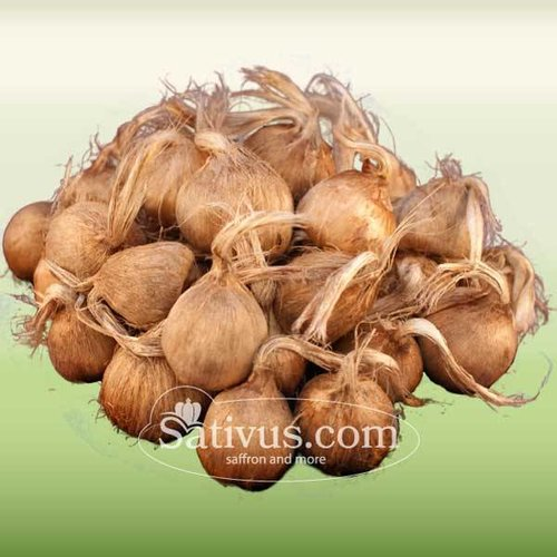 Crocus Sativus 10 corms size 9/10