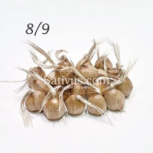 Crocus sativus 100 bulbes calibre 8/9