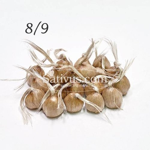 100 Bulbi di crocus Sativus calibro 8/9