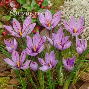 Crocus sativus 50 bulbes calibre 8/9