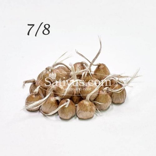 Crocus Sativus 25 corms size 7/8