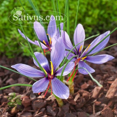 Crocus sativus 25 bulbes calibre 7/8