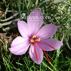 Crocus sativus 10 bulbes calibre 7/8