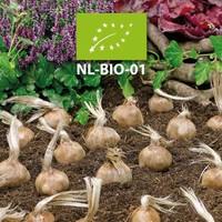 Nuevo en la tienda, los bulbos de azafrán Bio!