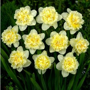 "Narcissus Jonquille ""Ice King"" 10 bulbes de calibre 14/16"