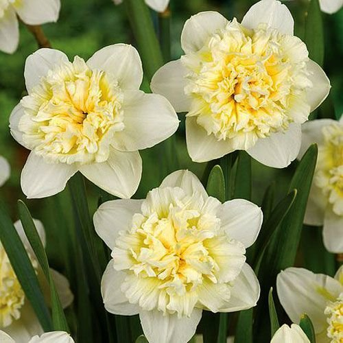 "Narcissus Narciso ""Ice King"" 10 bulbos de calibre 14/16"