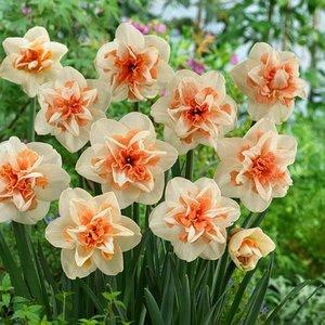 """Narcissus Narzisse """"Delnashaugh"""" 10 Knollen der Größe 12/14"""