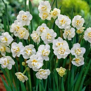 "Narcissus Narcisse ""Cheerfulness"" 10 bulbes de calibre 15/17"