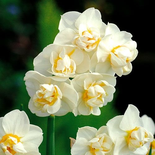 "Narcissus Daffodil ""Cheerfulness"" 10 bulbs of size 15/17"