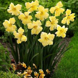 """Narcissus Narciso """"Cassata"""" 10 bulbos de calibre 14/16"""