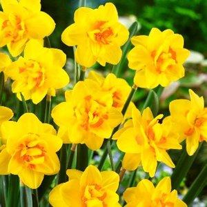 """Narcissus Narzisse """"Apotheose"""" 10 Knollen der Größe 16/18"""