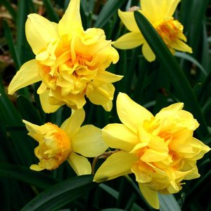 "Narcissus Narciso ""Butter and Eggs"" 10 bulbos de calibre 14/16"