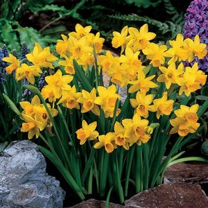 "Narcissus Narciso ""Tête-à-Tête"" 25 bulbos de calibre 11/12"