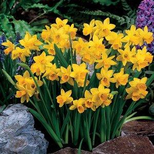 """Narcissus Narcisse """"Tête-à-Tête"""" 25 bulbes de calibre 11/12"""