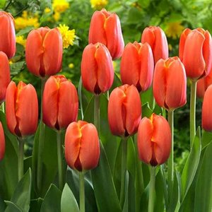 """Tulipa Tulipe """"Darwiorange"""" 15 bulbes de fleurs de calibre 16/+"""