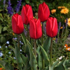 """Tulipa Tulipán """"Strong Love"""" 15 bulbos de flores de calibre 12/14"""