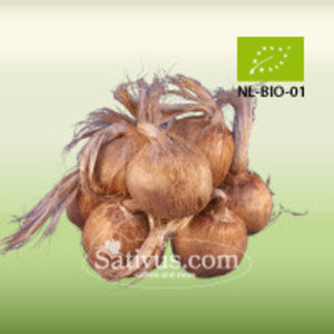 Crocus sativus 10 bulbes calibre 11/+ - BIO