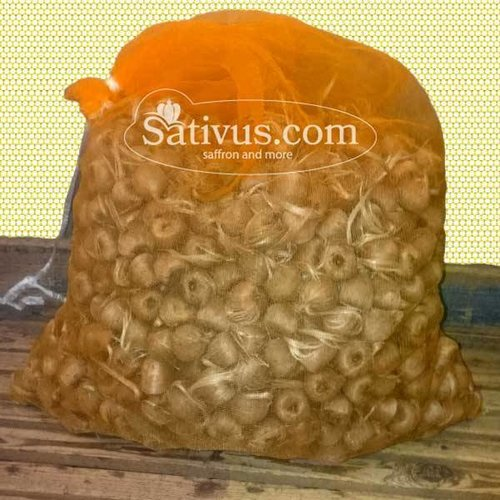 500 Bulbs of crocus Sativus size 11/+