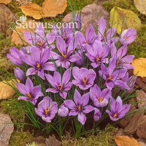 1000 Bulbi di crocus Sativus calibro 11/+